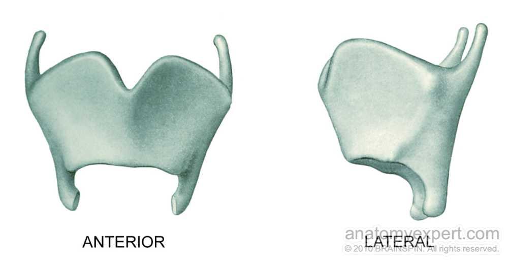 pictures of thyroid cartilage oblique line